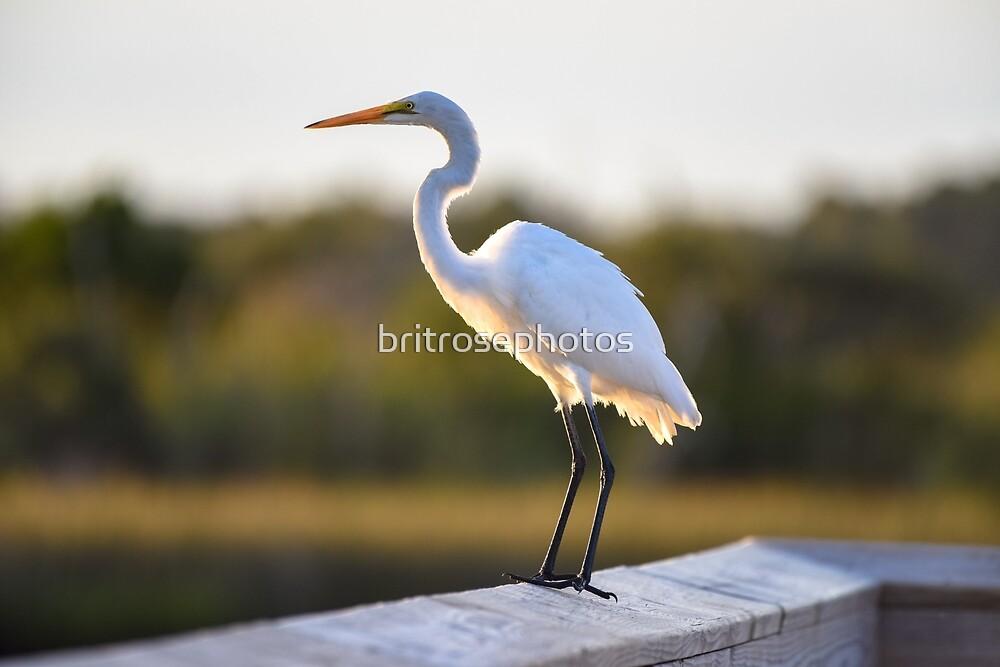 Great White Egret by britrosephotos