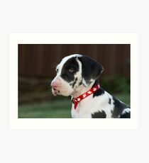 Great Dane Puppy Art Print