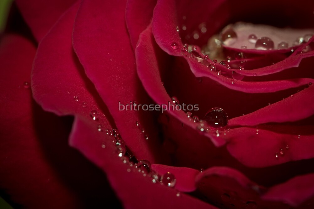 Rose Droplets by britrosephotos