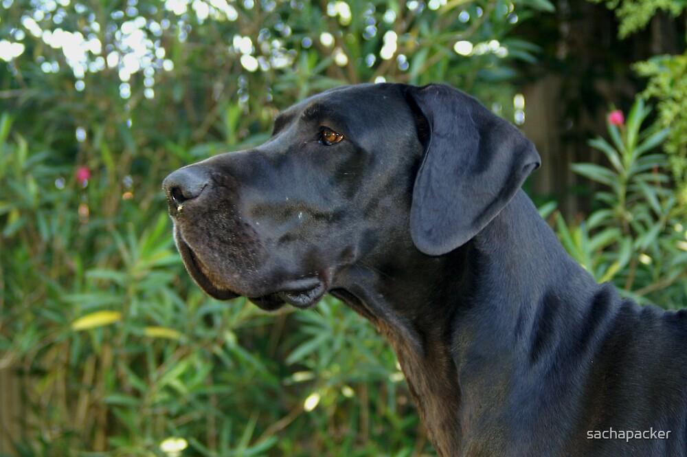Black Great Dane by sachapacker