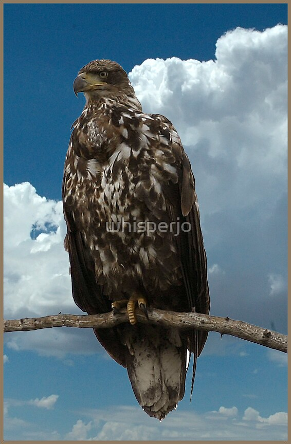 Young Bald Eagle by whisperjo