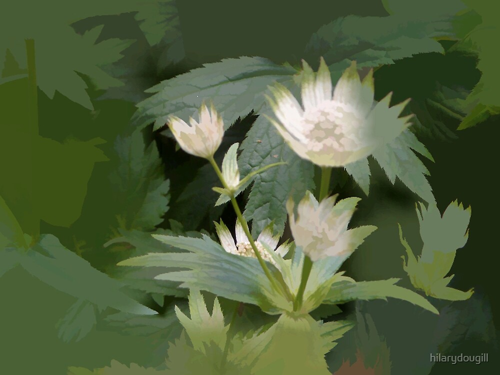 abstract of Astrantia by hilarydougill