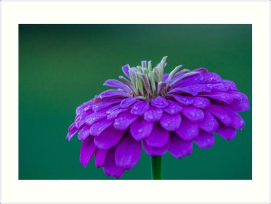 Flower purple by KensLensDesigns