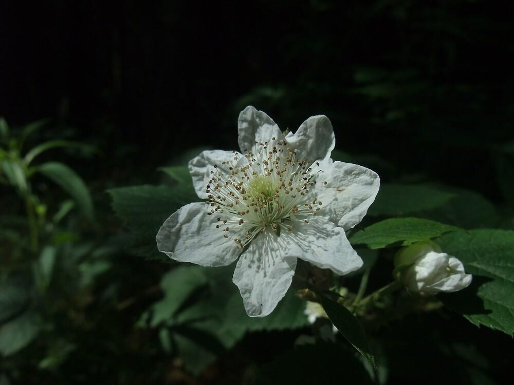 Blackberry (Rubus fruticosus) by IOMWildFlowers