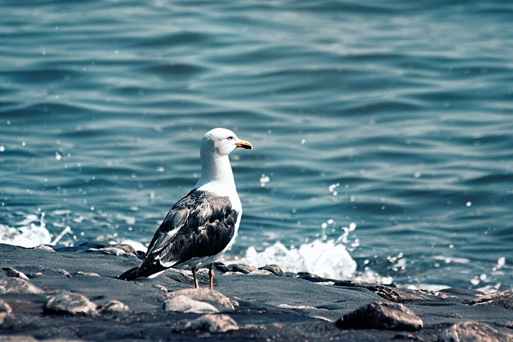 seagull by franceslewis