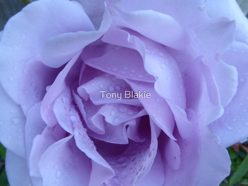 Purple rose wet by Tony Blakie