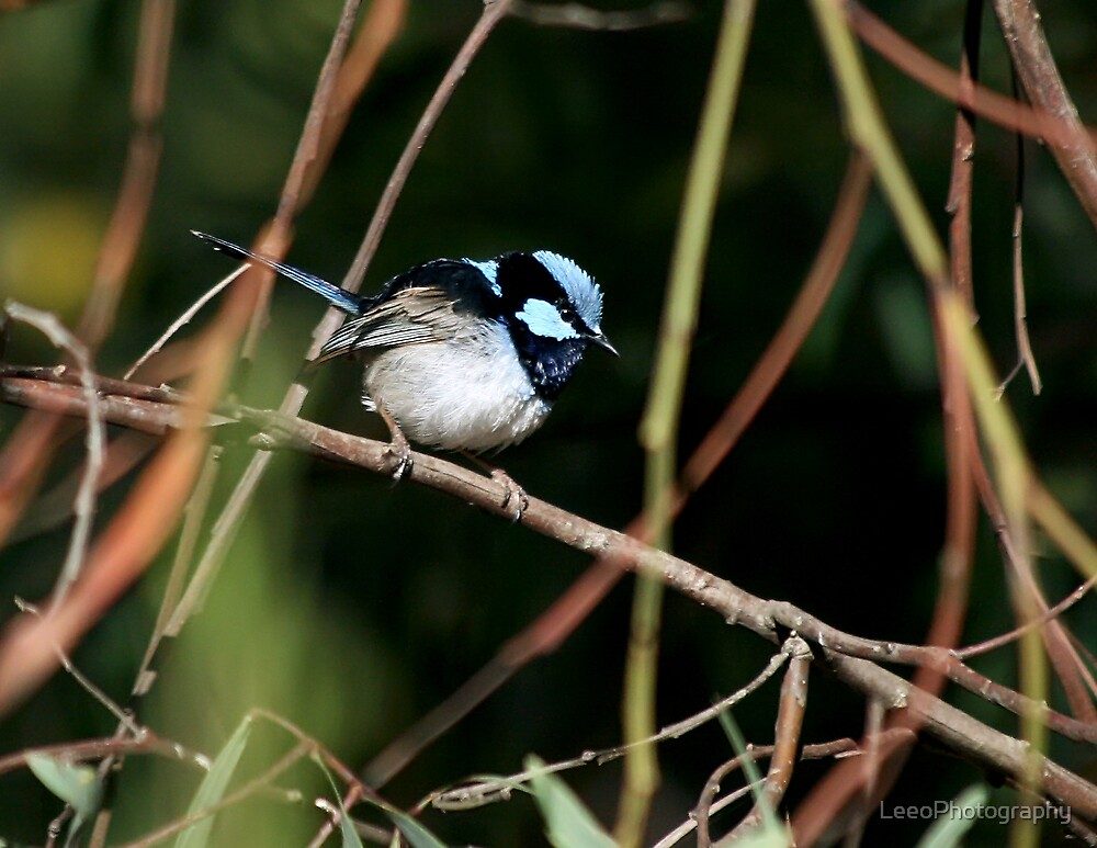 Blue Wren - Laratinga Wetlands by LeeoPhotography