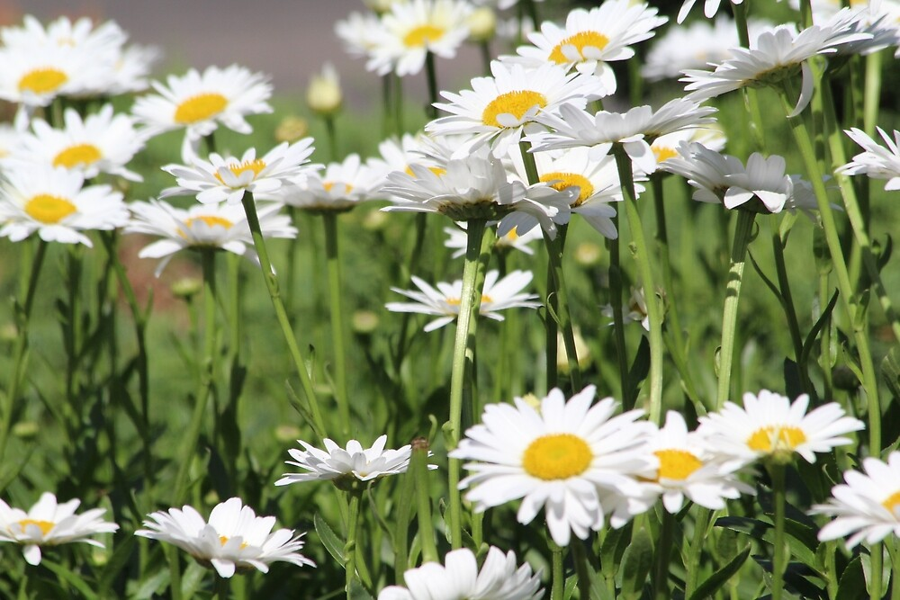 Daisies by Grace Jane