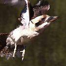Kookaburra on the go by myraj