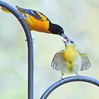 Oriole feeding fledgling #2 by Laurie Minor