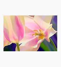 Pink and White Tulips in the Spring Photographic Print