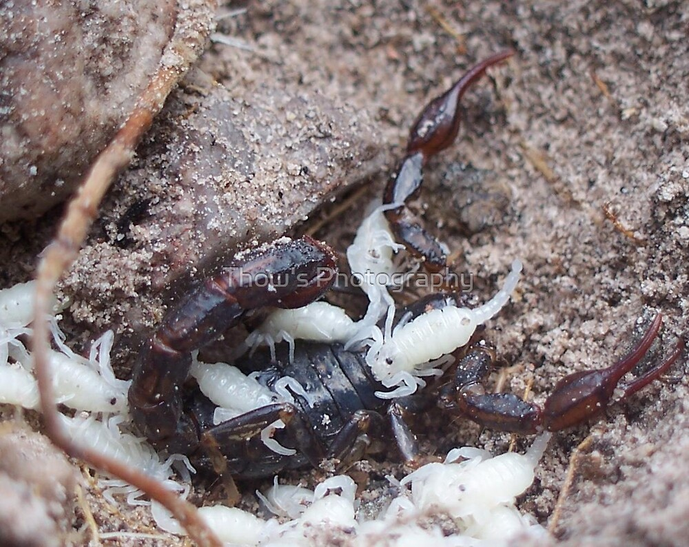 Scorpion and babies by Thow's Photography