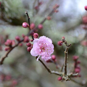 Cherry blossom by lizdomett