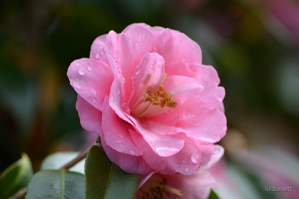 Pink Camellia with raindrops by lizdomett