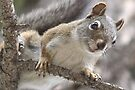 Pine Squirrel by Betsy  Seeton