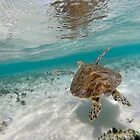 Flying Turtle on the Great Barrier Reef by Edwin Davis