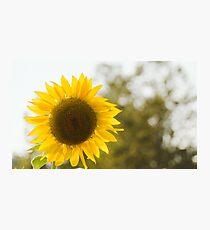 Sunflowers 12 Photographic Print