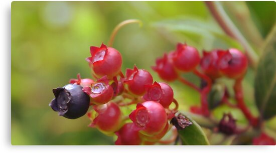 Red Blueberries by MMerritt