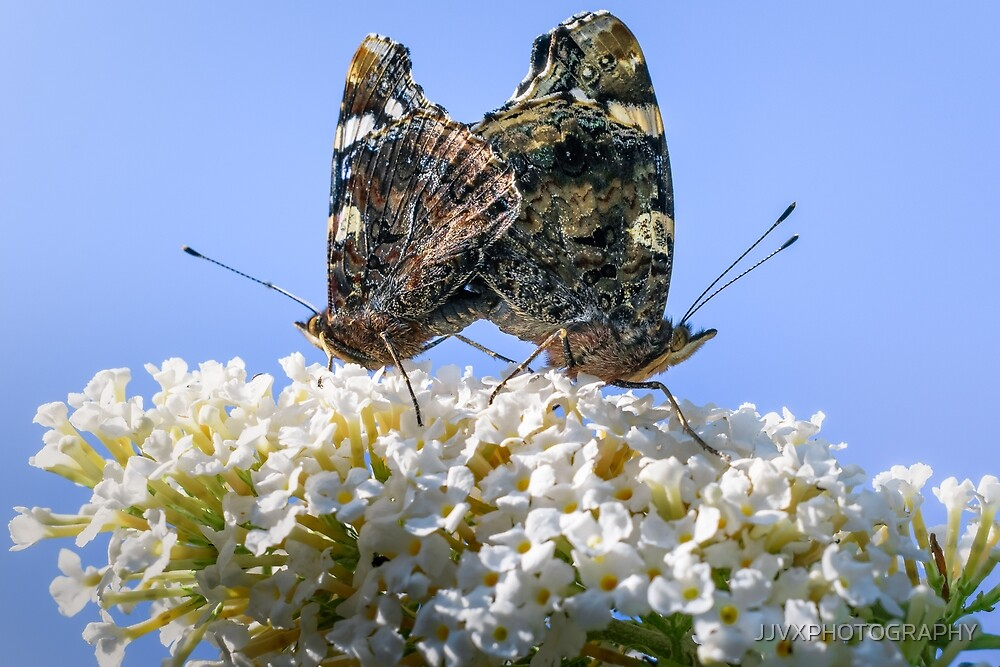 Red Admiral Butterflies Mating by JJVXPHOTOGRAPHY