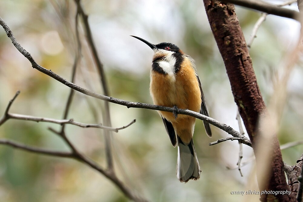 Eastern Spinebill (612) by Emmy Silvius