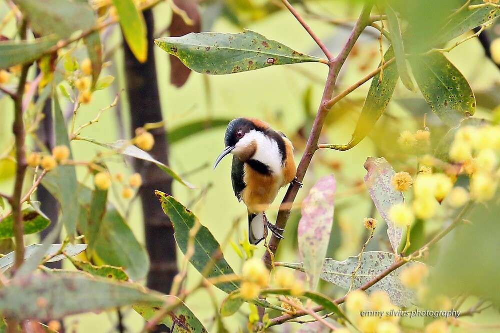 Eastern Spinebill (6071) by Emmy Silvius