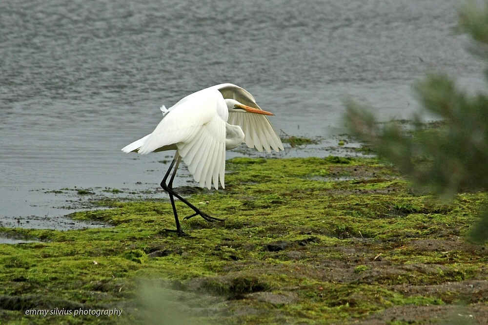 Eastern Great Egret (871) by Emmy Silvius