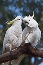 "Sulphur-crested Cockatoos ~ ""I love you too"" by Robert Elliott"