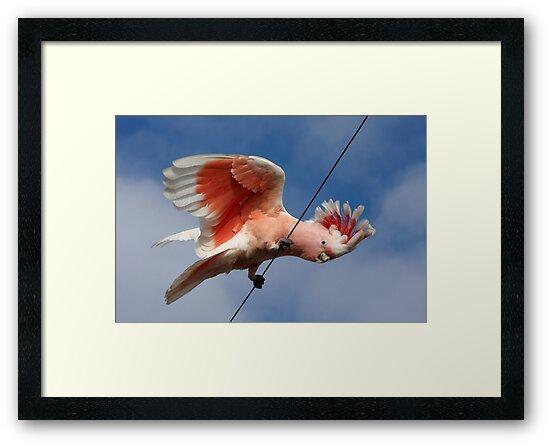 Major Mitchell's Cockatoo (Pink Cockatoo) ~ The Entertainer by Robert Elliott