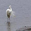 Eastern Great Egret (4628) by Emmy Silvius