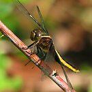 Dragonfly by Danielle Loscig