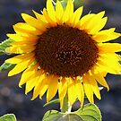 Backlit by the Sun by Alyce Taylor