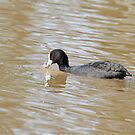 Eurasian Coot (712) by Emmy Silvius