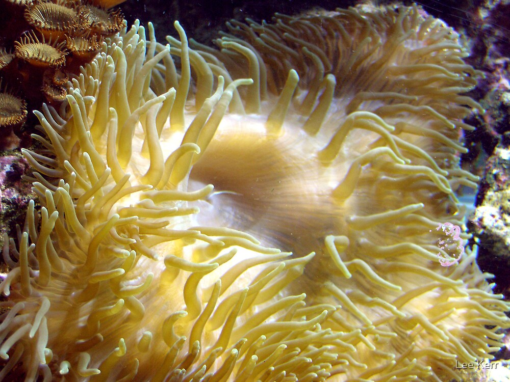 Golden Anemone by Lee Kerr