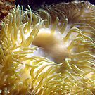 Golden Anemone by Lee Kerr