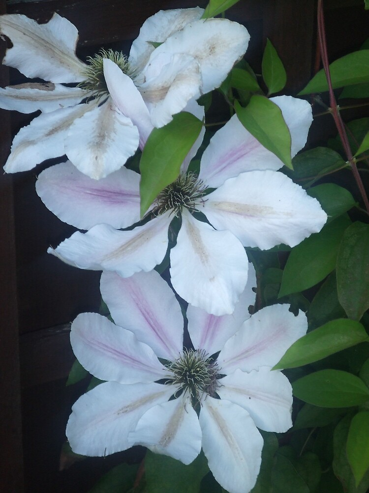 Clematis by Ffion Rees