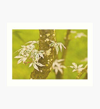 Japanese Maple In Spring. Art Print