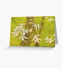 Japanese Maple In Spring. Greeting Card