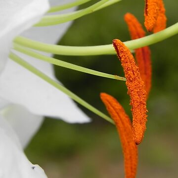 Anther & Filament of a White Lily by MarthaMedford