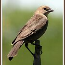 Female Cowbird by BigD