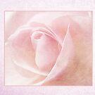 Baby Pink Rose by Lynn Bolt