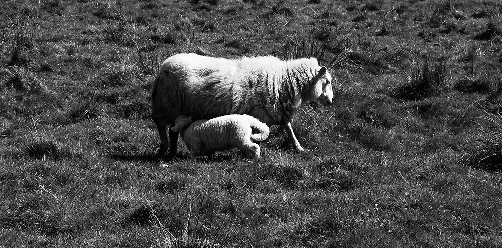 Black And White Welsh Spring Sheep  by Thomas-Flood