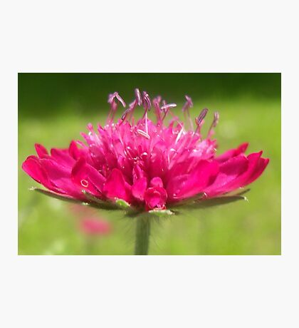 Scabiosa ~ Greater Knapweed Photographic Print