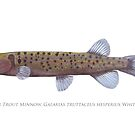 Critically Endangered Trout Minnow ( Galaxias truttaceus hesperius) by StickFigureFish