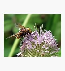 Volucella zonaria... Hornet Hoverfly...... Lyme Dorset UK Photographic Print