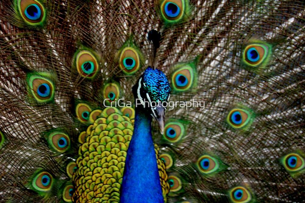 peacock by CriGa Photography