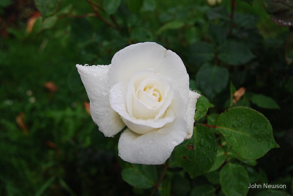 White Rose by John Newson