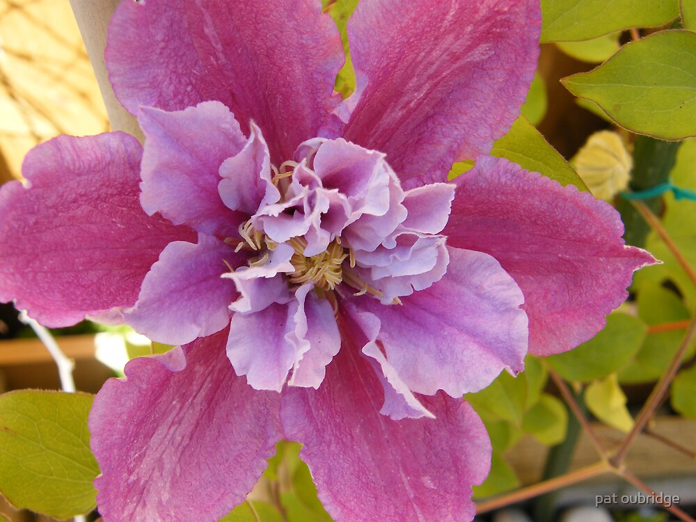 Mikes Clematis by pat oubridge