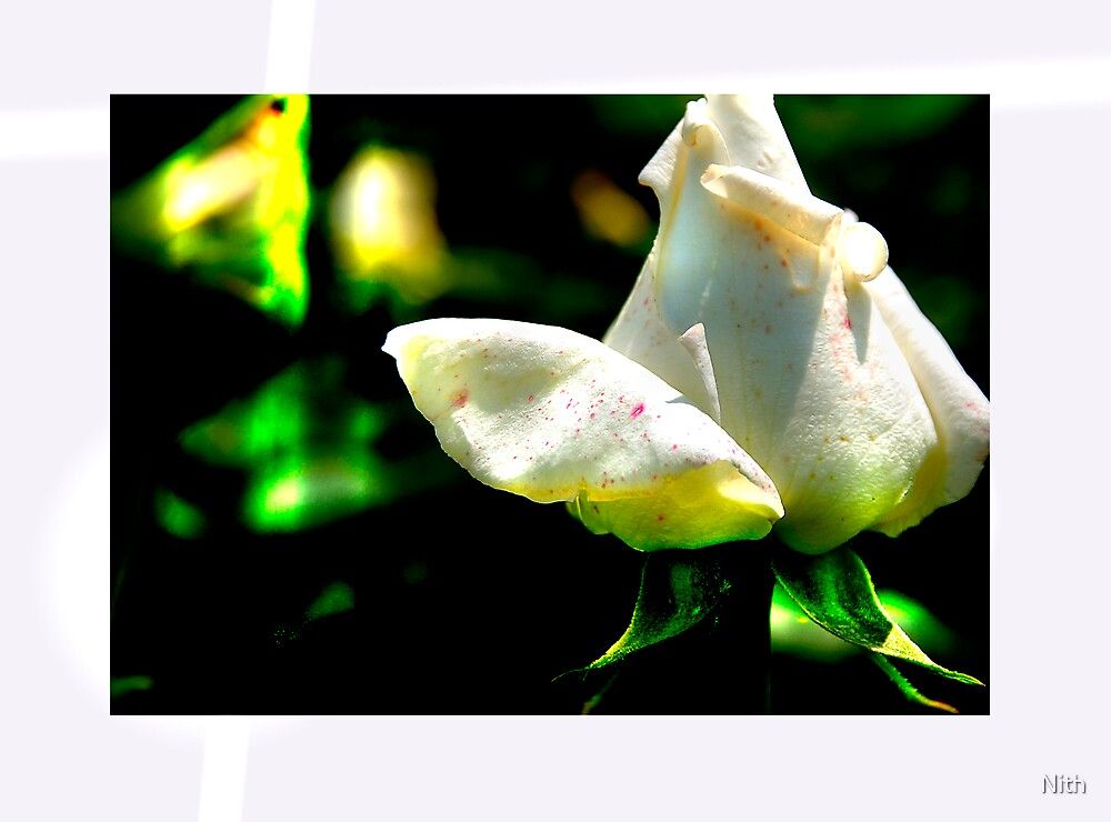 White Rose by Nith