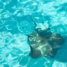 Stingray Swimming In Cayman Islands by daphsam