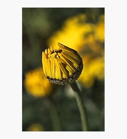 Daisy Yellow Photographic Print
